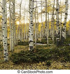automne, tremble, arbres, color.