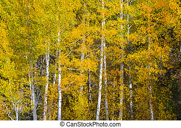 automne, tremble, arbres
