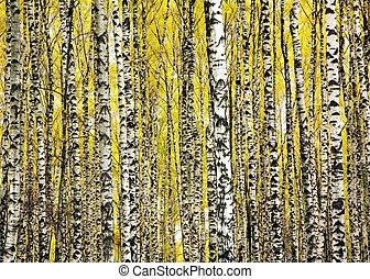 automne, troncs, arbres, bouleau