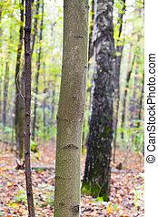 automne, troncs, forêt aspen