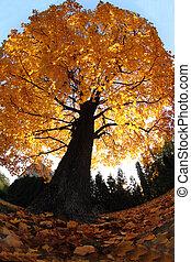 automne, vieil arbre