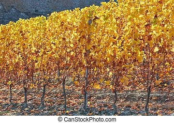 automne, vignoble, rétroéclairage, feuilles jaune