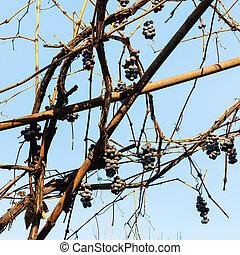 automne, vignoble, tas, raisins