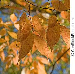 automne, zelkova, serrata, feuillage, (keyaki)