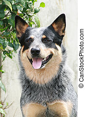 Autralian Cattle Dog - An Australian cattle dog at sit and...