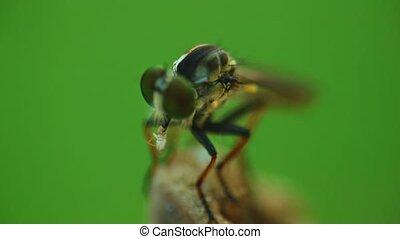 autre, bogue, alimentation, insecte, mouche, haut, voleur, ...
