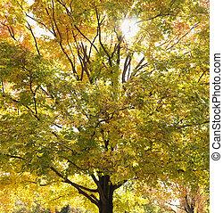 autum., árbol, arce