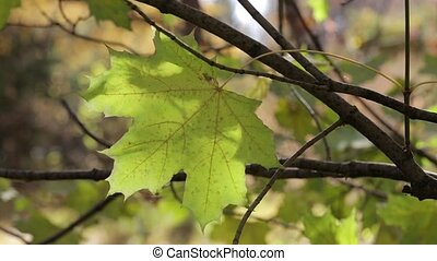 A big yellow maple leaf on a branch swings in the wind