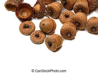 Autumn acorns from oak
