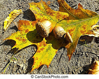 autumn acorns on oak leaves