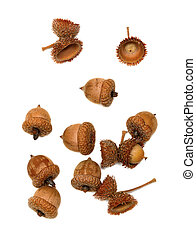 Autumn acorns on white
