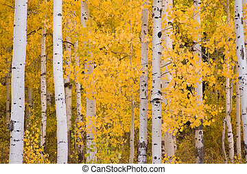 Bold, colorful Aspen trees in early Autumn.