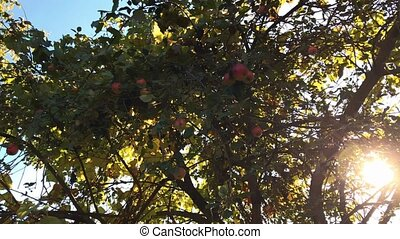 Autumn apples on a tree branch in the garden. Apple tree in the evening.