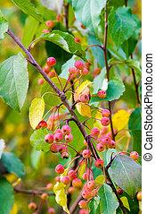 Autumn apples. Small apples on autumn tree.