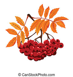 Autumn Ashberry isolated with leaf