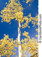Autumn Aspen and Blue Sky