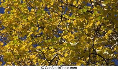 autumn aspen branch leaves