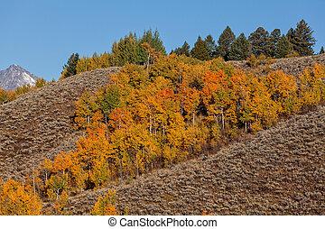 a brilliant aspen grove in fall foliage in teton national park wyoming