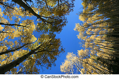 wide view up in aspen (Populus tremuloides) grove in the autumn with yellow leaves against a blue sky