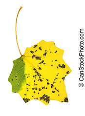 Autumn aspen leaf