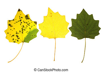 Autumn aspen leaves - colorful aspen leaves on isolated
