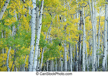 autumn aspen tree - aspen tree in autumn from colorado