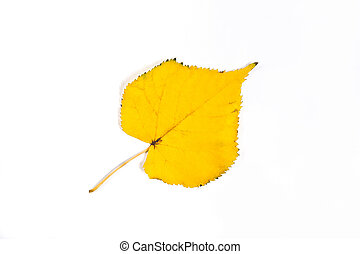 Autumn aspen tree leaf isolated on white background. With clipping path.