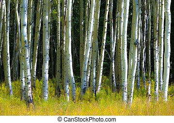 Autumn Aspen Trees Background Pattern Colorado
