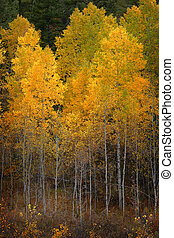 Autumn Aspen Trees Fall Colors Golden Leaves and White Trunk