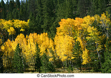 Yellow aspens contrast sharply with the dark green pines and spruces of the Colorado Rockies.