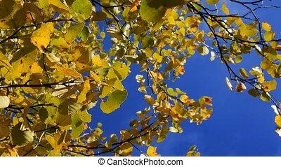 Autumn aspen, yellow foliage effect enhance color