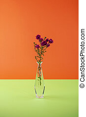 Autumn aster branch in a glass vase on a colored background
