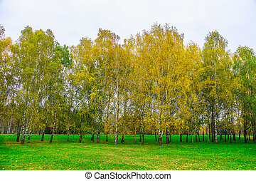 Autumn Background of Birch Trees with Yellow Leaves