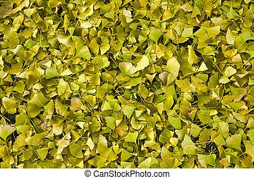 Wide shot of Ginkgo biloba fallen leaves backround.