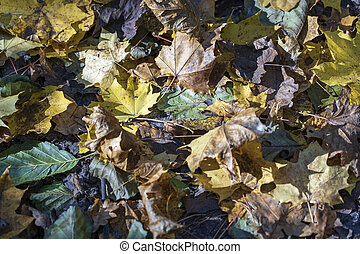 Autumn background with maple leaves, close up