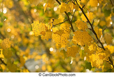 Autumn background. Yellow aspen leaves at sunny day