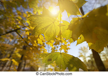 Autumn background. Yellow maple leaves in the sun