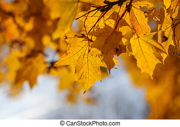 autumn background, yellow maple leaves