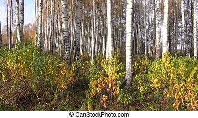 autumn beautiful birches forest