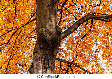 Autumn beech tree with yellow red leaves