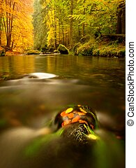 Autumn beeches and aspen leaves on boulder in mountain stream. Cold water