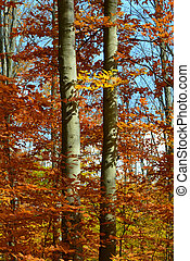 Detailed view of beech trees with colourful fall foliage