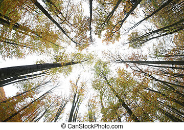 Autumn beeches - view from below