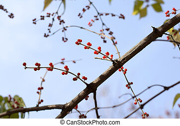 Autumn berries Lonicera xylosteum against the sky - The red ...