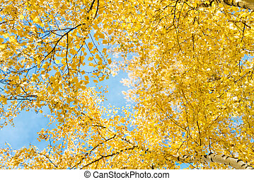 Autumn birch against the blue sky