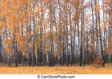 Autumn birch forest landscape