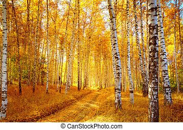 Autumn birch forest - Vivid colors of fall birch forest