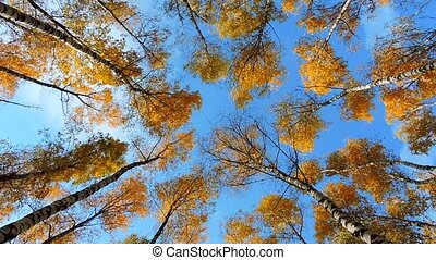 Autumn birch forest, trees sway in the wind on blue background, falling leaves