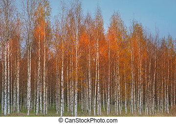 Autumn birch forest with orange and yellow colors