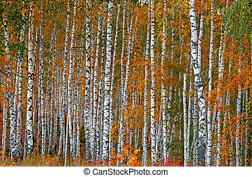 Autumn birch grove as a background